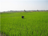 Irrigated winter rice